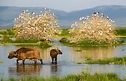 African Buffalo AKA Cape Buffalo (Syncerus caffer) in a water hole. Photographed in Tanzania