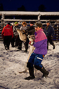 Man wrestling with a reindeer at a reindeer roundup at Vuomaselkä, Lapland, where semi-domesticated deer are sorted and seperated for breeding, slaughter, returned to their owners, injected for parasites, or released back into the forest.