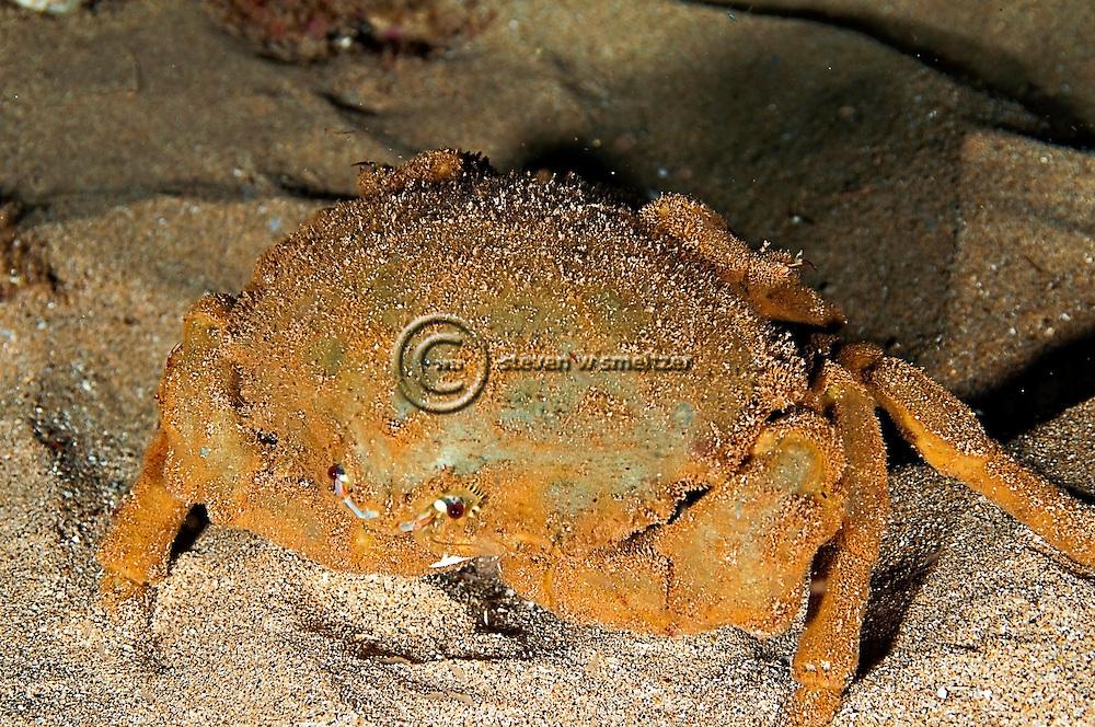 Sleepy Sponge Crab, Dromia dormia, off west coast of Maui, Hawaii