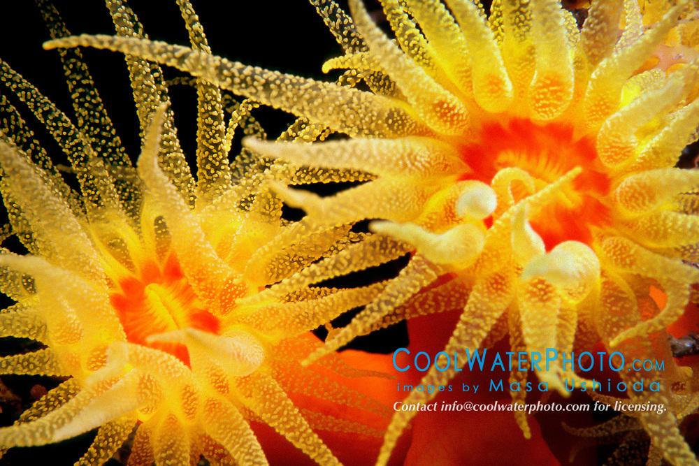 orange cup coral, Tubastraea faulkneri, extends tentacles to feed on plankton at night, Suruga Bay, Osezaki, Izu Peninsula, Shizuoka, Japan, Pacific Ocean