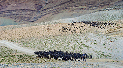 A herd of goats graze the hills beside the piste from Tamtetoucht to Msemrir, Morocco<br /> <br /> (c) Andrew Wilson | Edinburgh Elite media