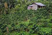 A coffee farm, Tapanuli, Batang Toru Ecosystem, Sumatra, Indonesia
