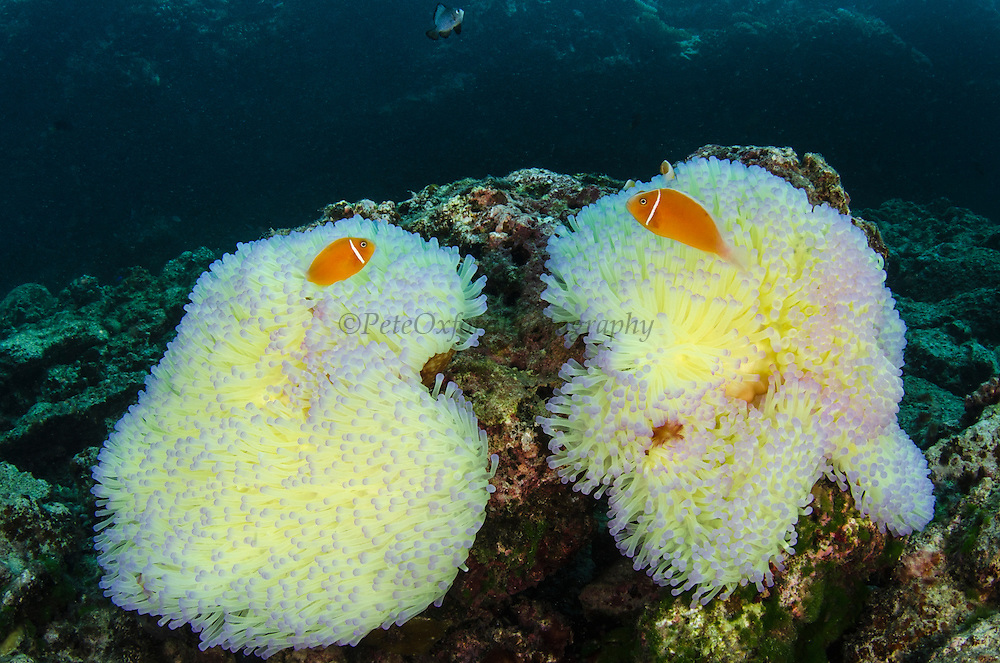 Pink Anemonefish (Amphiprion perideraion) <br /> Sheltering in Magnificent Sea Anemone (Heteractis magnifica) for protection<br /> Fiji. South Pacific