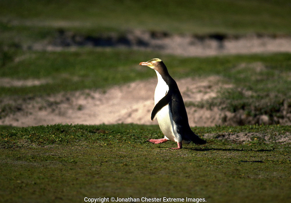 Yellow-eyed penguin found in southern  New Zealand and offshore islands. It is solitary and very shy.  Megadyptes antipodes
