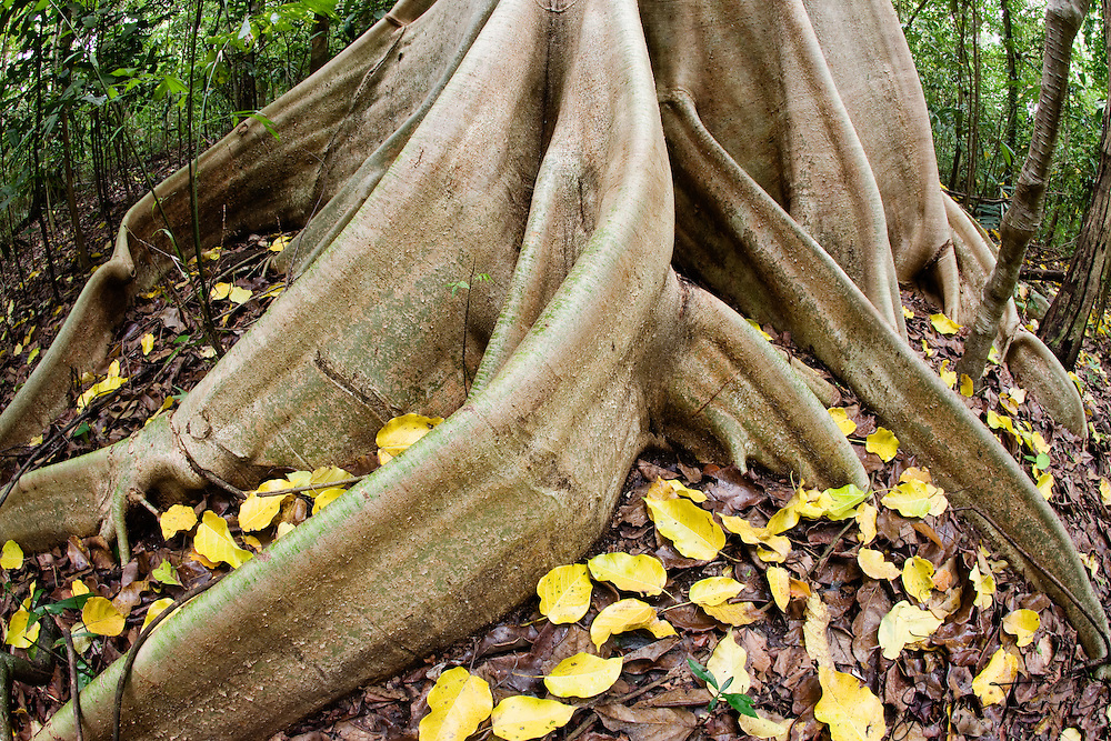 The large buttress roots of a Dracontomeium dao tree with autumn leaves, a giant tropical rainforest tree, Sulawesi,Indonesia