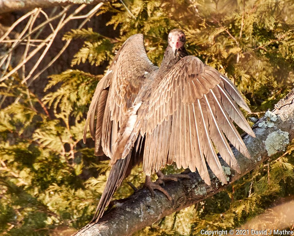 Turkey Vulture (Cathartes aura). Image taken with a Nikon N1V3 camera and 70-300 mmVR lens.
