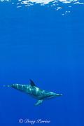 rough-toothed dolphin ( Steno bredanensis ), Kona, Hawaii ( Central Pacific Ocean )