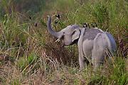 Wild Indian elephant (Elephas maximus indicus) with jungle mynas in Kaziranga NP, Assam, India.