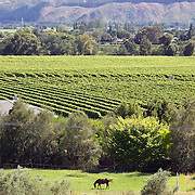 A horse grazes in a field with and a view of the vineyards in the Marlborough Wine Region from the tower at Highfield Estate WInery,  Brookby Road, Blenheim, Marlborough. New Zealand..Established in 1989, Highfield is a boutique Marlborough winery  owned by Shin Yokoi and Tom Tenuwera. . Highfield is surrounded by a beautiful five acre pinot noir block, situated on the Brookby Ridge and signposted by the iconic tower...The Marlborough wine region is New Zealand's largest wine producer. The Marlborough wine region has earned a global reputation for viticultural excellence since the 1970s. It has an enviable international reputation for producing the best Sauvignon Blanc in the world. It also makes very good Chardonnay and Riesling and is fast developing a reputation for high quality Pinot Noir. Of the region's ten thousand hectares of grapes (almost half the national crop) one third are planted in Sauvignon Blanc. Marlborough, New Zealand, 14th February 2011. Photo Tim Clayton
