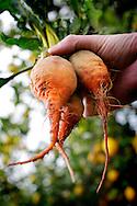 Freshly picked heirloom carrots, lemon tree in background. Model release#0101