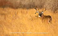 WHITE-TAILED DEER - NEWEST