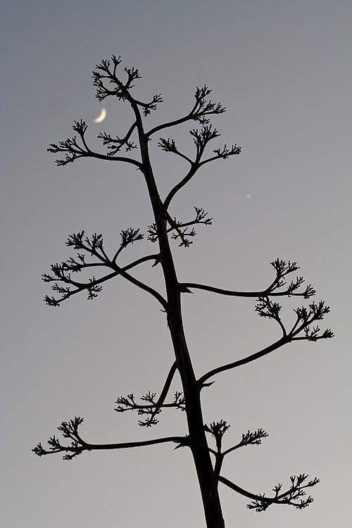 The silhouette of an Agave americana bloom frames the moon in Laguna Beach, California.