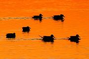 Ducks in silhouette swimming at sunrise.Bolsa Chica Wetlands,California
