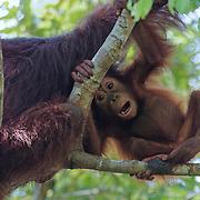 Orang-utan (Pongo pygmaeus) small baby staying close to mom but testing it's independence. Tanjung Puting National Park. Borneo
