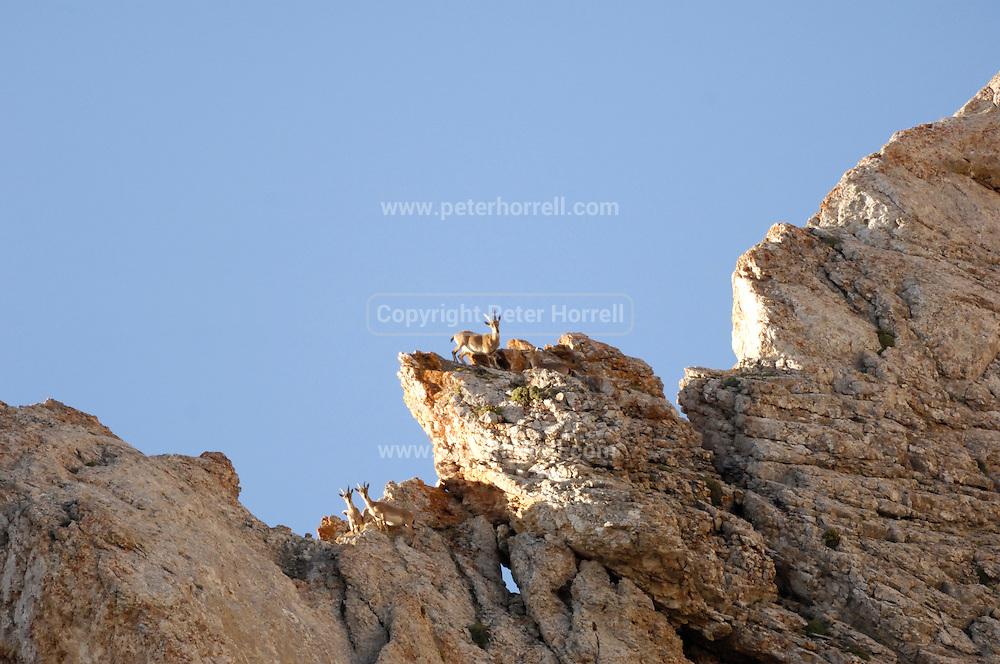 Turkey July 21 2011: Mountain goats look down from a ridge near the chromium mine in the Aladag mountain area near Çukurbag. Copyright 2011 Peter Horrell
