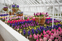 Hyacinth trial in the glassshouse at West Dean