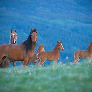 horses mares and newborn foals in meadow of wildflowers, glacier blackfeet reservation, montana