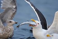 Greater black-backed gull, Larus marinus, The Living Sea, North Atlantic, Flatanger, Nord-Trondelag, Norway.
