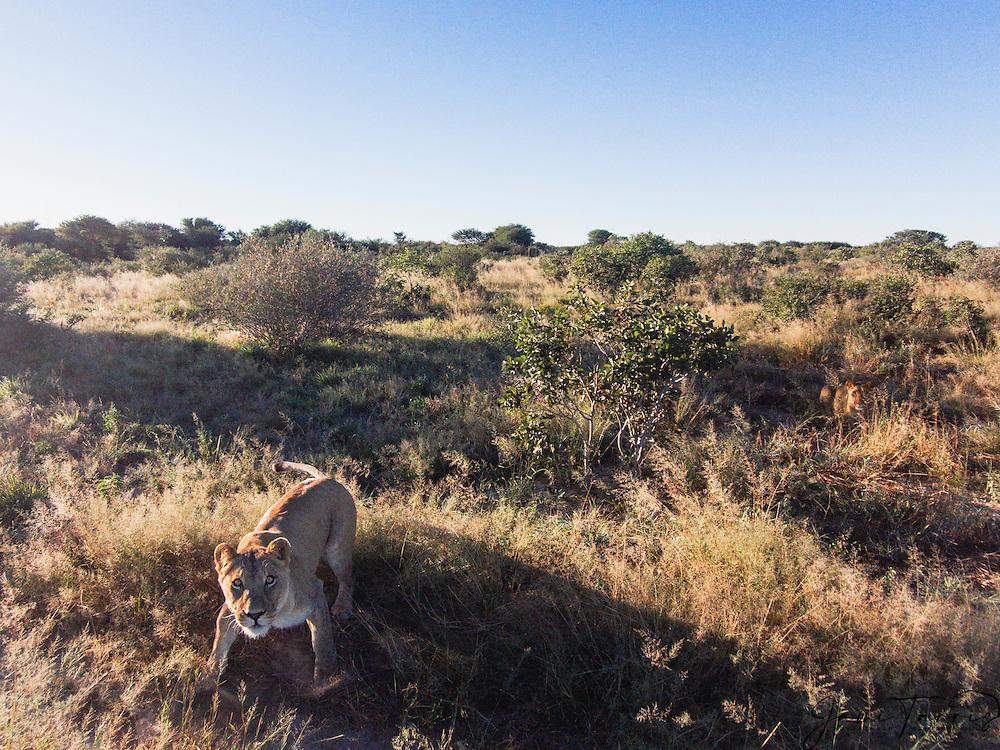 Aerial view of Kalahari lions (Panthera leo),, Kalahari Desert, Botswana Africa