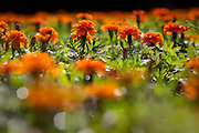 Curitiba_PR, Brasil...Detalhe do jardim no Parque Tingui in Curitiba, Parana. Na foto craveiro (Dianthus caryophyllus)...A garden in Tingui Park in Curitiba, Parana. In this photo carnation (Dianthus caryophyllus)...Foto: BRUNO MAGALHAES / NITRO