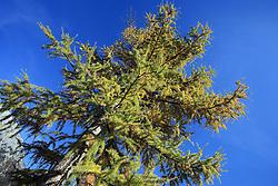 Tree at Dachstein, Ramsau, Austria, on October 22, 2008. (Photo by Vid Ponikvar / Sportida).