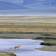 Barren Ground Caribou that are part of a porcupine herd. Arctic National Wildlife Refuge, Alaska