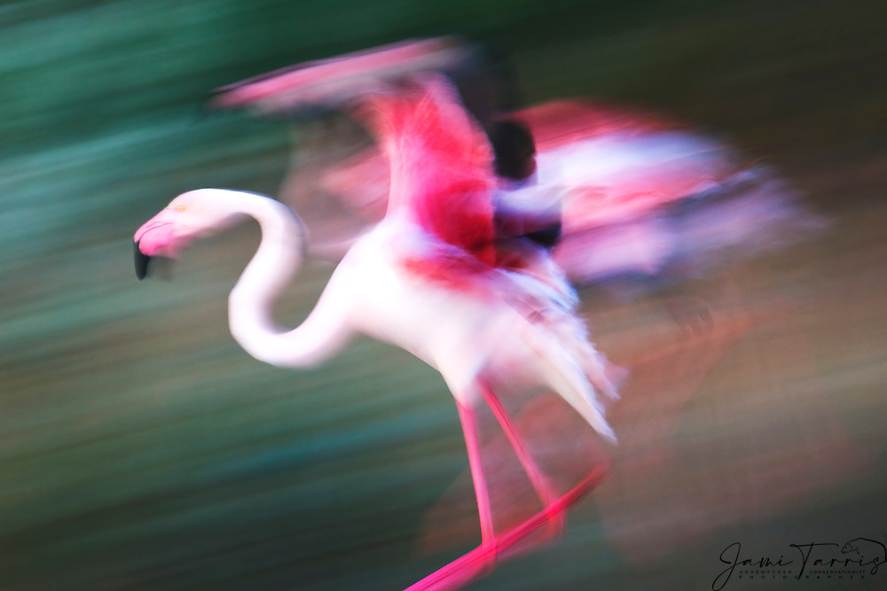 The vivid pink color of wings of the greater flamingo ( Phoenicopterus ruber ) in flight and landing, motion blur, La Camargue, Provence, France