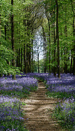 Early morning sunlight bathes the bluebells in Dockey Wood, Hertfordshire