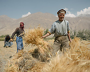 Workig in the wheat field. Nothing is mechanized. The traditional life of the Wakhi people, in the Wakhan corridor, amongst the Pamir mountains.