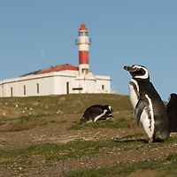 Magellanic penguins stand below an abandoned lighthouse at a rookery on Magdalena Island in the Strait of Magellan, Chile.