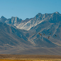 Canada Geese fly in front of Mount Morrison in the Eastern Sierra Nevada  near Mammoth Lakes, California.