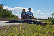 American Alligator (Alligator mississippiensis) basking in the sun in Everglades National Park, Florida.