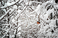 A lone robin sits in the branches of a tree on a very cold winter's day in Maine.