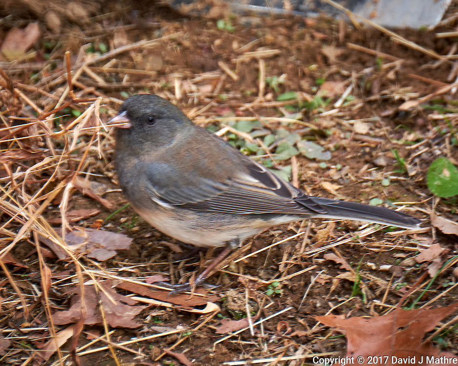 Dark-eyed Slate-colored Junco. Late Autumn Backyard Nature in New Jersey. Image taken with a Fuji X-T2 camera and 100-400 mm OIS lens (ISO 400, 400 mm, f/5.6, 1/60 sec)