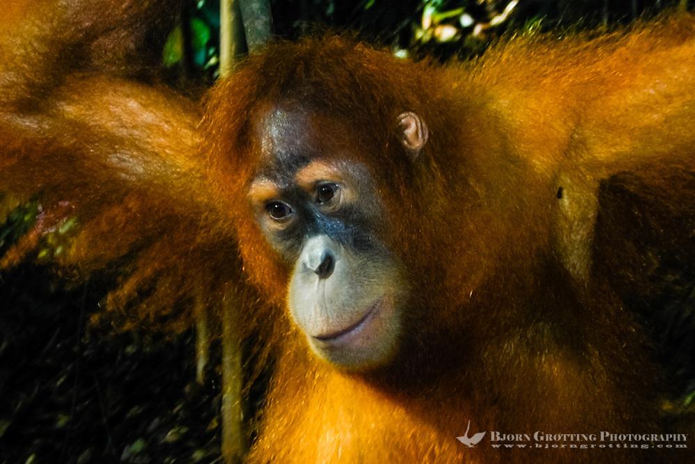 Indonesia, Sumatra. Bukit Lawang. Gunung Leuser National Park. The orangutan sanctuary of Bukit Lawang is located inside the park. A young orangutan.