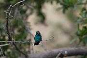 Photograph of a Magnificent Hummingbird in Madera Canyon AZ