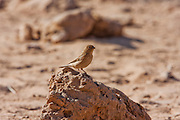 Sinai Rosefinch (Carpodacus synoicus) female on the ground, negev desert, israel