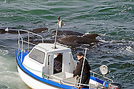 On the 28th July 2012 a large pod of about 200 Long-Finned Pilot Whales were getting alarmingly close to land near Njarðvík, South West Iceland. Last time this happen was in Þorlákshöfn in 1986 and in Njarðvík in 1957.<br /> <br /> I was on a whale watching tour that went to help push the whales back out into deeper waters but our boat was too big to get in between them and the land. However, soon another smaller boat came that was able to push them away from land and then we could get in between as well to help push them further. The whales were obviously stressed and huddled together.  Once we felt comfortable that they were a safe distance from land we left the area.