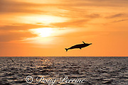 spinner dolphin, either eastern spinner, Stenella longirostris orientalis, or Central American spinner, Stenella longirostris centroamericana, jumping at sunset, offshore from southern Costa Rica, Central America ( Eastern Pacific Ocean )