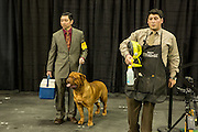 New York, NY - 16 February 2016. A Dogue de Bordeaux, its handler and groomer waiting for thier turn in the ring at the 140th Westminster Kennel Club Dog show in Madison Square Garden.