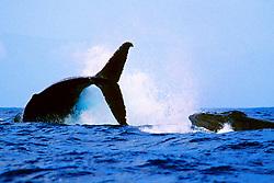 female humpback whale, throwing caudal peduncle toward lunging male humpback whale, Megaptera novaeangliae, Hawaii, Pacific Ocean