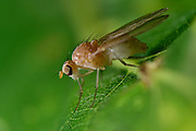 lauxaniid fly (Meiosimyza platycephala) Lauxaniidae on oak leaf
