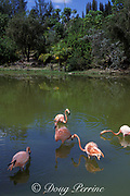 pink flamingos at nature reserve,<br /> Grand Bahama Island,<br /> Bahamas ( Western Atlantic Ocean )