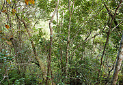 View of trees in forest, Analamazaotra  Reserve, Madagascar, treetops, secondary jungle,