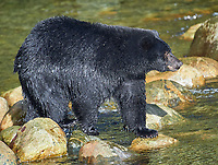 Black Bear (Ursus americanus) walking across a river, Thornton Fish Hatchery, Ucluelet, British Columbia, Canada
