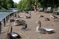 © Licensed to London News Pictures. 07/06/2021. London, UK. A woman walks during sunny weather in St James's Park in South Central London. Temperatures are expected to rise with highs of 24 degrees forecasted for parts of London and South East England today . Photo credit: George Cracknell Wright/LNP