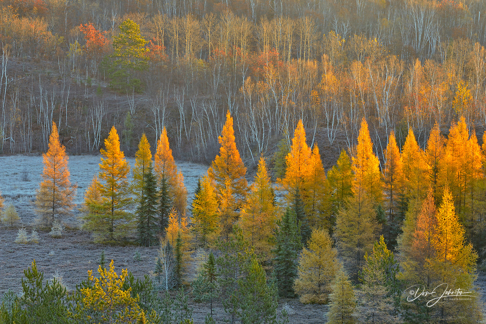 Autumn larches in a frosted valley, at dawn, Greater Sudbury, Ontario, Canada
