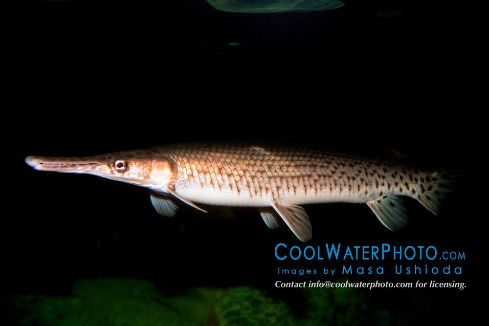 Florida gar (c), Lepisosteus platyrhincus, Florida (Freshwater)