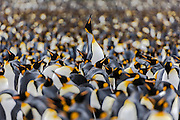 A King Penguin (Aptenodytes patagonicus) rises above the colony, Salisbury Plain, South Georgia Island, South Atlantic Ocean