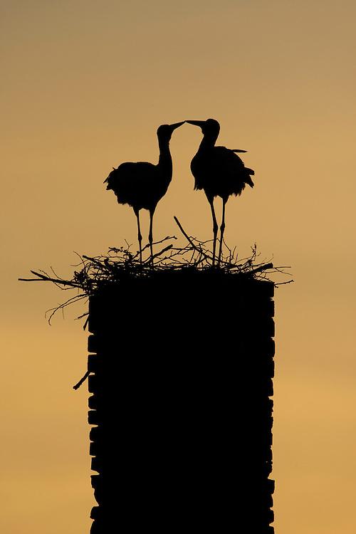 White stork (Ciconia ciconia) pair silhouetted at nest on old chimney. Rusne, Lithuania. Mission: Lithuania, June 2009